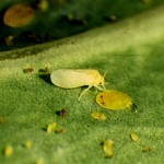whitefly adult