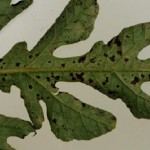 Anthracnose lesions visible on the underside of leaves