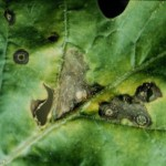 Myrothecium Leaf Spot lesions can coalesce