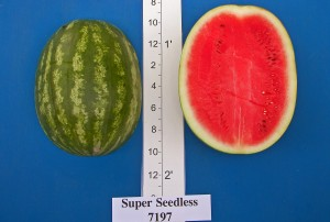 Super Seedless 7197 (Abbott & Cobb)