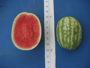 Super Seedless #7197 HQ (Abbott & Cobb)