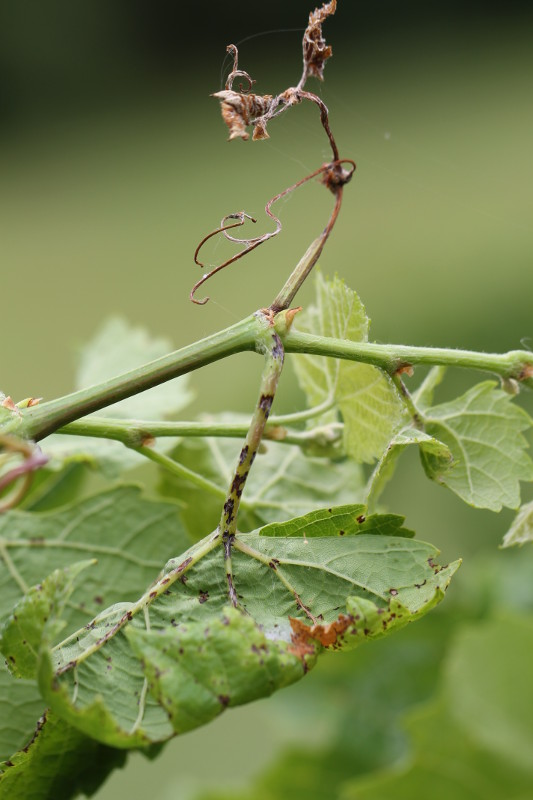 Diseases Of The Grapevine Anthracnose