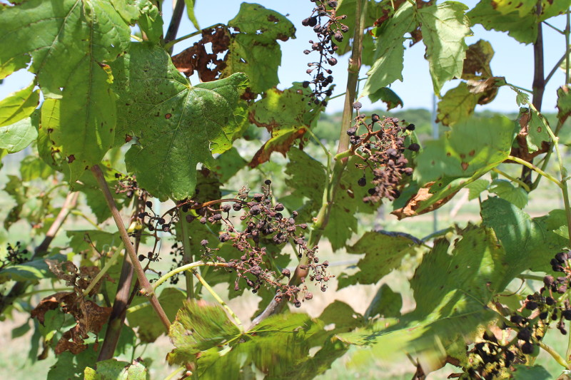 Diseases Of The Grapevine Black Rot