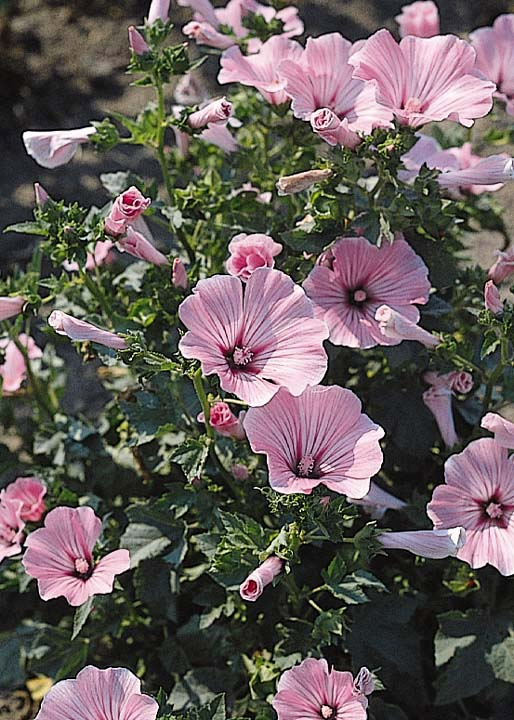 Blooming Ground Cover Full Sun: Rose Mallow