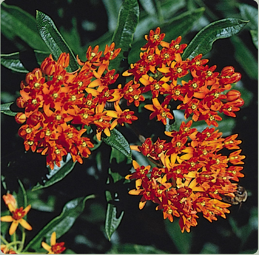 butterflyweed, Beautiful flower