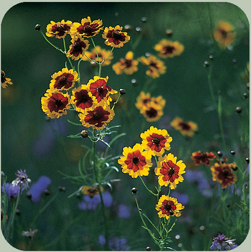Annual Plains Coreopsis
